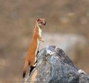 Wonder Weasel